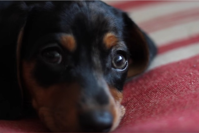 cute-face-dachshund-pup