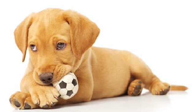 cute-labrador-pup-dog-ball-photo