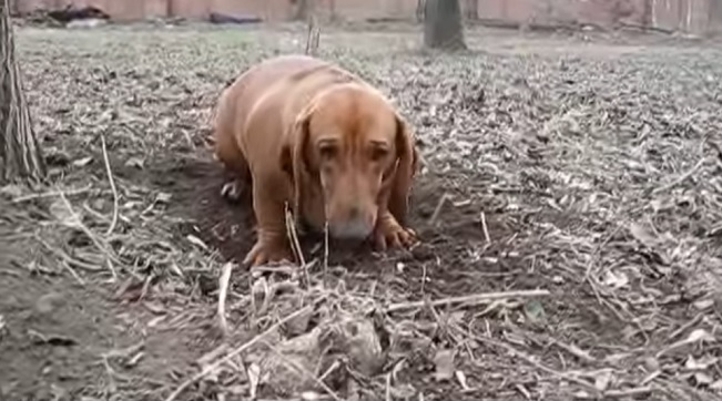 dachshund-digging-dog