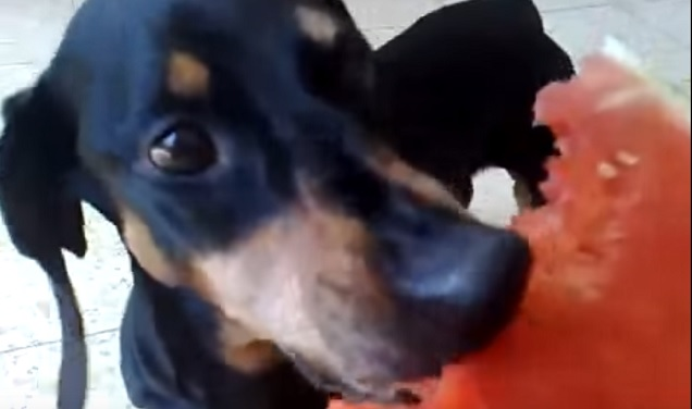 dachshund-eating-watermelon