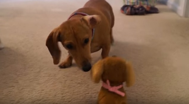 dachshund-toy-confused