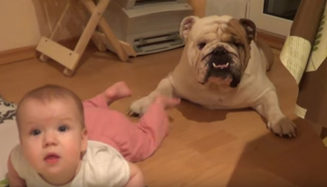english-bulldog-child-dog-baby-friends