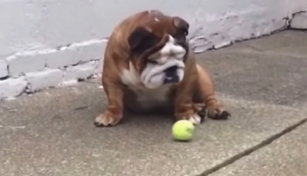 english-bulldog-tennis-ball-dog