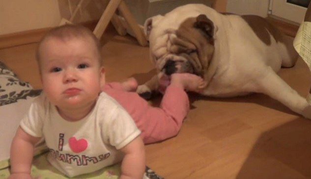 english-bulldog-washing-baby-feet