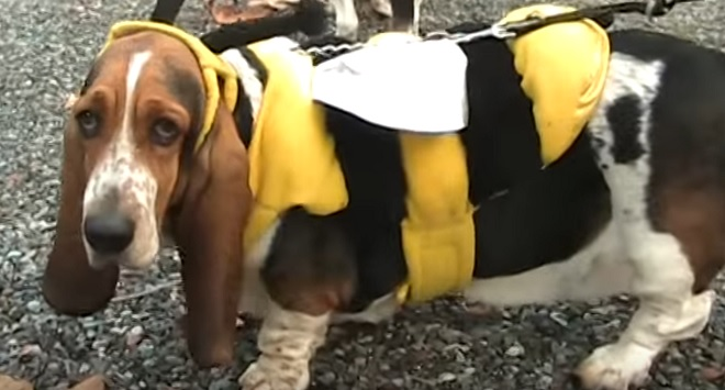 funny-basset-hound-dog-bumble-bee-costume