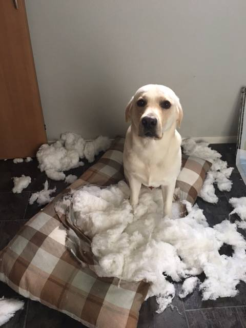 12 Buzzsharer Labrador Pics That Will Make You Almost Too