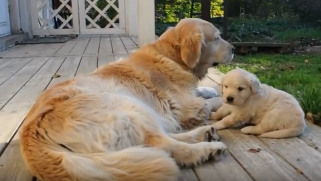 golden-retriever-family-dogs