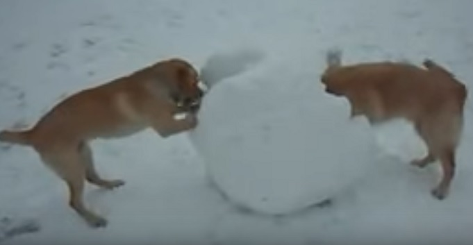golden-retriever-play-snow-ball