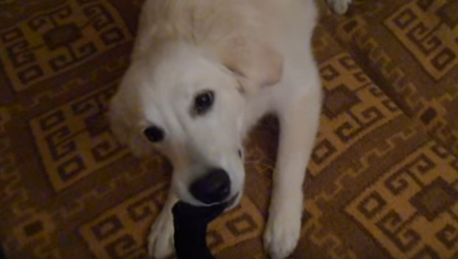 golden-retriever-pup-play-with-sock