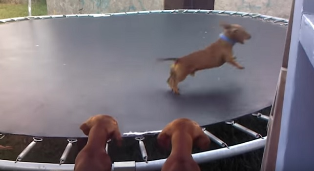 happy-and-funny-dachshund-pups
