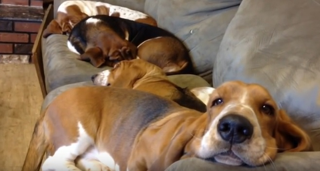happy-basset-hounds-on-couch-lying