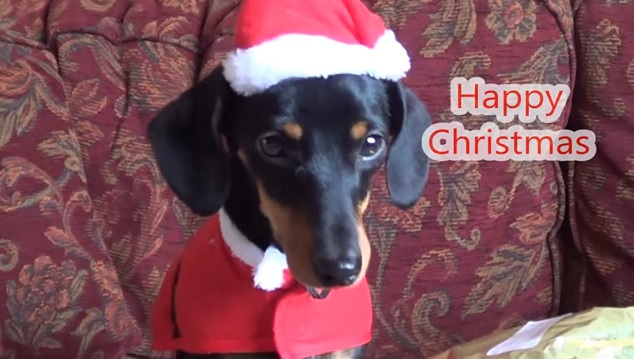 happy-christmas-dachshund