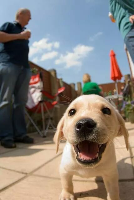 labrador-puppy-dog-face-happy