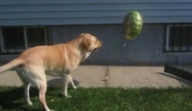 labrador-retriever-balloon-play