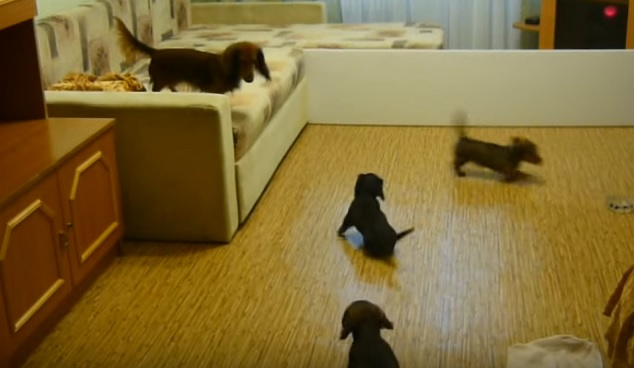 playful-dachshund-doxie-family