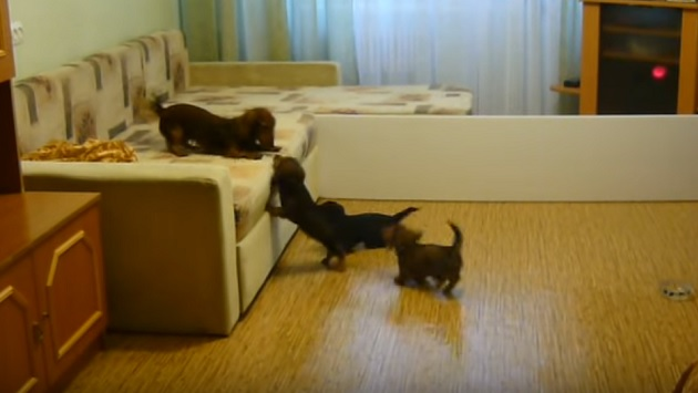 playful-dachshund-family-pups