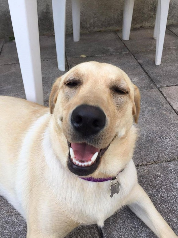 smiling-labrador-dog
