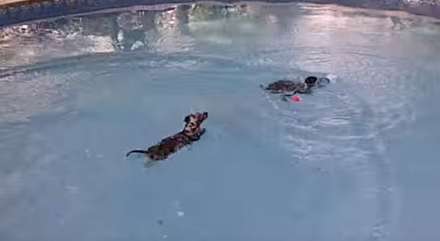 swimming-dachshund-dog