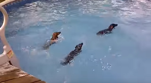 three-dachshunds-swim-pool