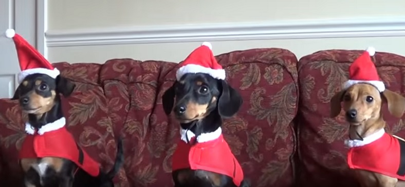 three-stylish-dachshund-christmas