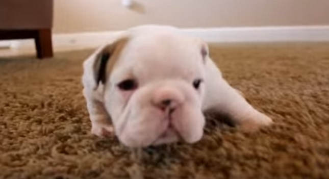 white-english-bulldog-puppy