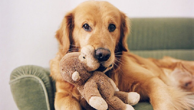 cute-golden-retriever-toy-dog