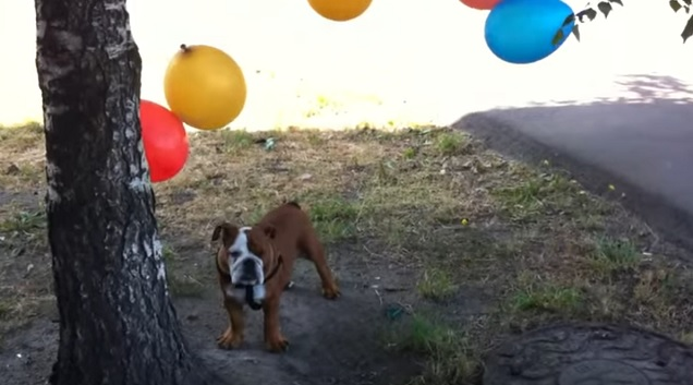 english-bulldog-balloons-dogs