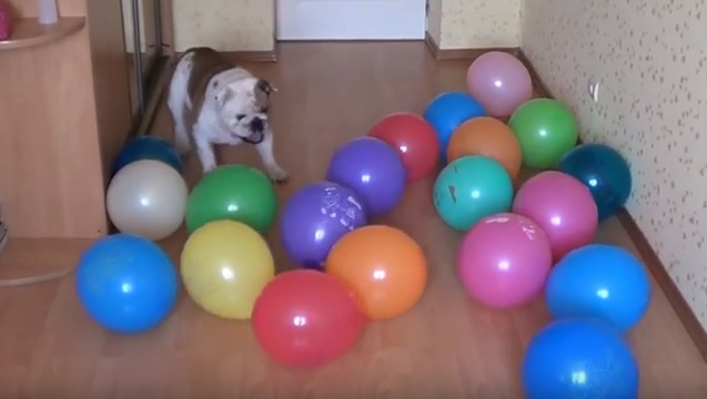 english-bulldog-balloons-funny-play