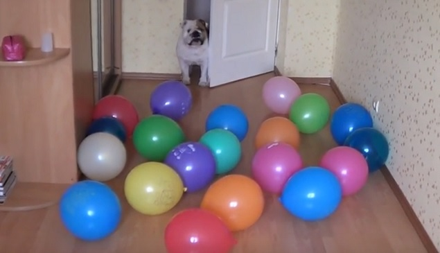 english-bulldog-dogs-balloons