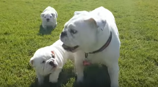 english bulldog family dog