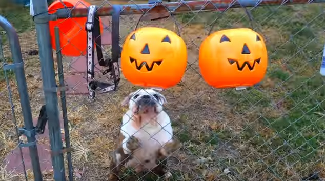 funny english bulldog play