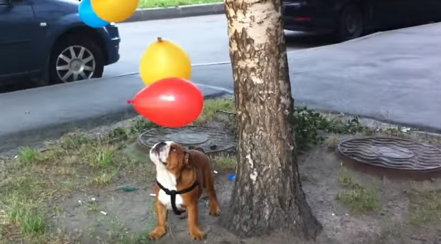 playful-english-bulldog-balloons