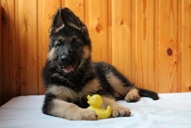 German Shepherd Puppy with toy