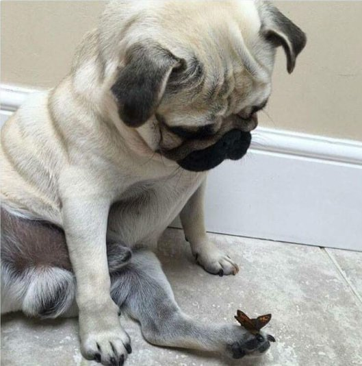 Pug with butterfly on toe