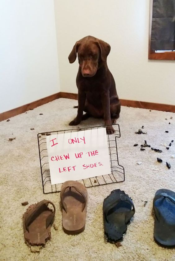 guilty labrador shaming