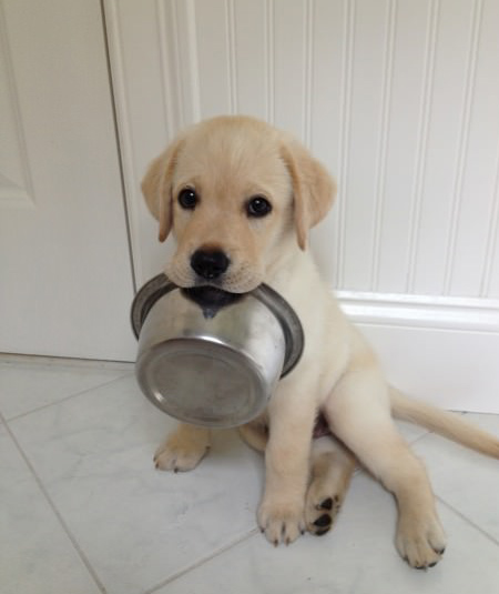 hungry labrador puppy with bowl in mouth