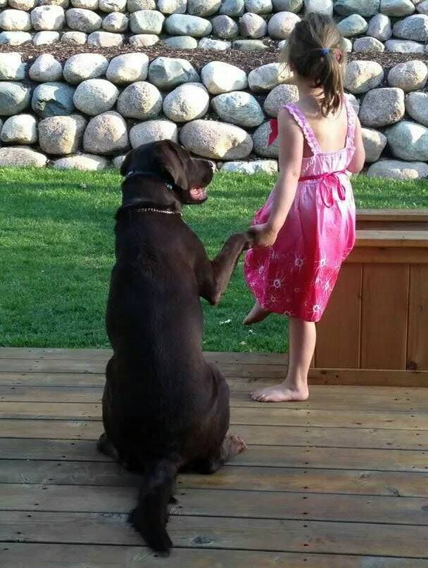 labrador and girl