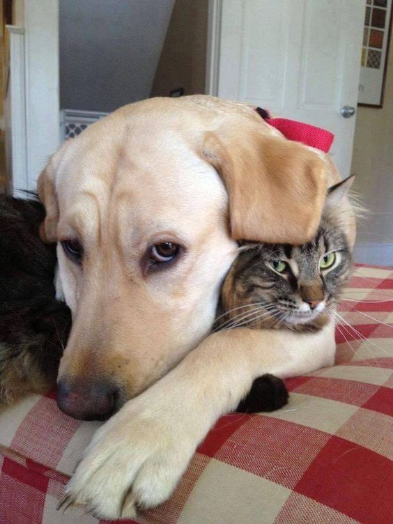 labrador dog and cat