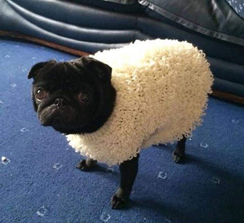 pug in sheeps clothing