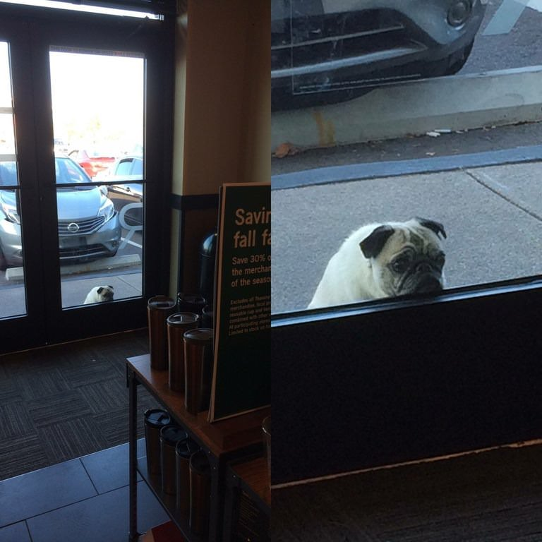 pug waiting for his owner at Starbucks