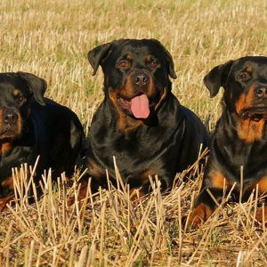 Rottweiler Dog Breed: A Great Family Protector [Ultimate Guide]