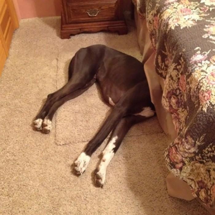 Hiding dog in the bedroom