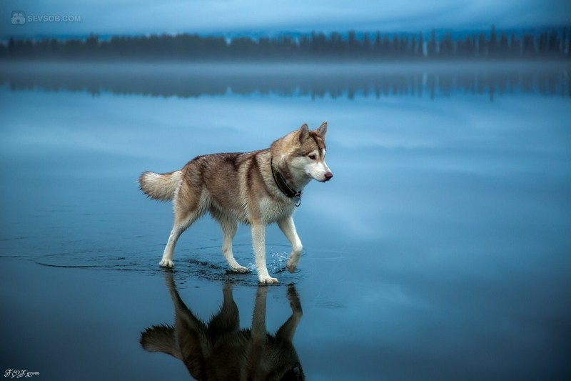 Have You Ever Seen Such Beautiful Photos Of Huskies? (25 Pictures)