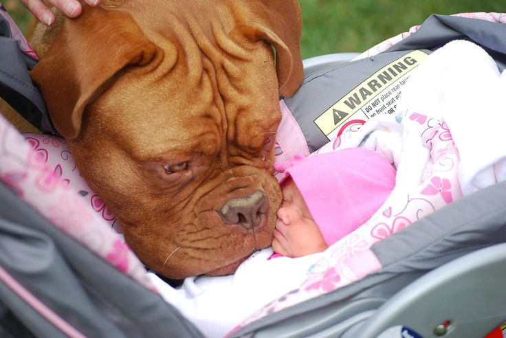 10 Gorgeous Mastiffs You've Ever Seen