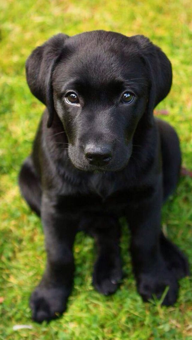 Black puppy, lab