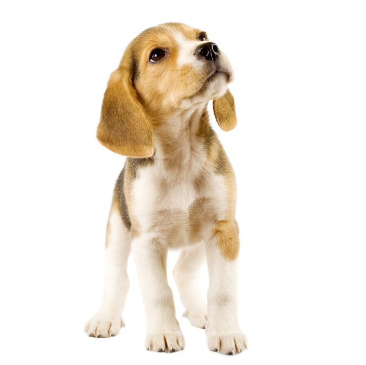 These 10 beagles will make you a better person beagles are also happy go lucky funny and cute voltagebd Image collections