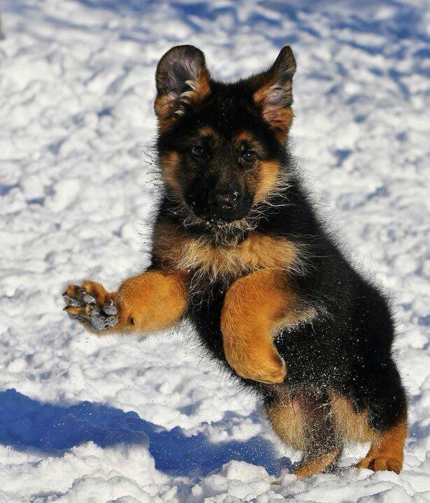 7 Reasons Why German Shepherds Are The Best Dogs Ever