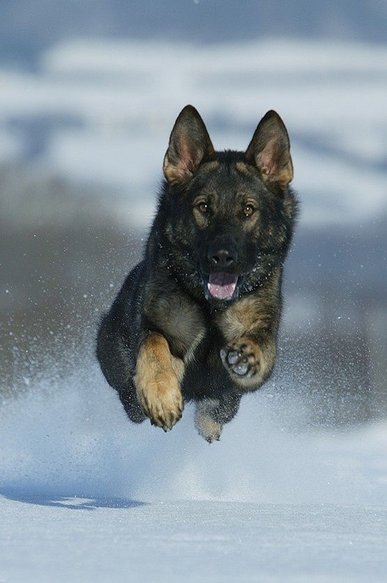 12 reasons german shepherds are the bestlooking dogs in