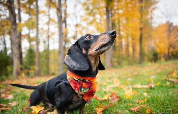 I smell fall in the air, dachshund