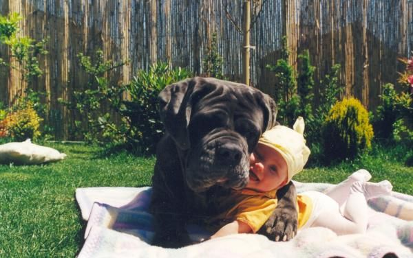 Mastiff and child